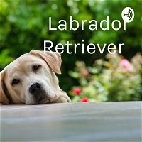 Labrador Retriever  (Trailer)