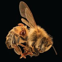 Dr. SAMUEL RAMSEY on Bee Population in Peril /210