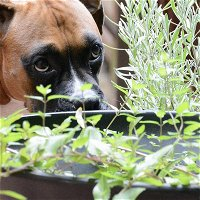 [Ep 91] Plantain for Pets, Medicinal Catnip, Dognappers