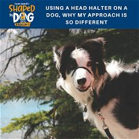 Using a Head Halter on a Dog, Why My Approach is so Different